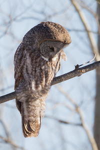 Great Gray Owl - Duluth, MN, USA
