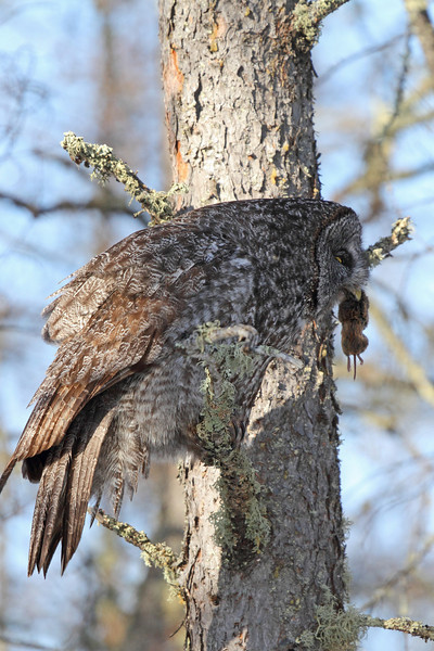Great Gray Owl with Mouse