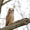 Great Horned Owlets @ Highbanks MP - April 2012
