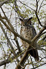 Great Horned Owl @ Highbanks - April 2008