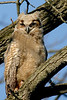 Great Horned Owlet @ Highbanks Metro Park 4/26/06
