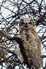 Great Horned Owlet @ Highbanks - April 2008