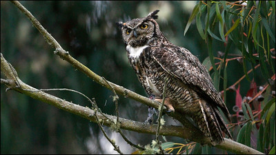 Great Horned Owl  with prey in its talons - Bubo virginianus