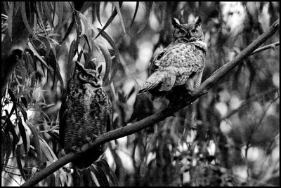Great Horned Owls at dusk- Bubo virginianus