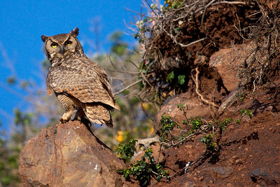 Great Horned Owl & owlet