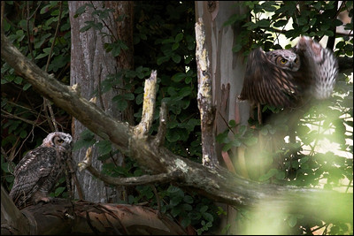 Juvenile Great Horned Owls - Bubo virginianus