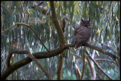 Great Horned Owl - Bubo virginianus Late afternoon light.