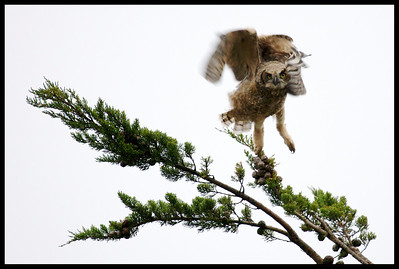 Young Great Horned Owl lifting off