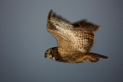 Great Horned Owl , adult