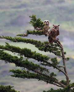 Great Horned Owl and owlet, May '09