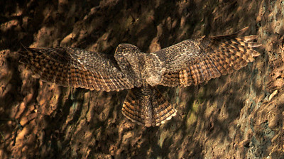 Great Horned Owl wing span