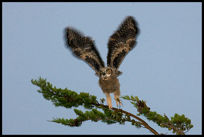 Young Great Horned Owl lift off at dawn