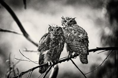 Juvenile Great Horned Owls