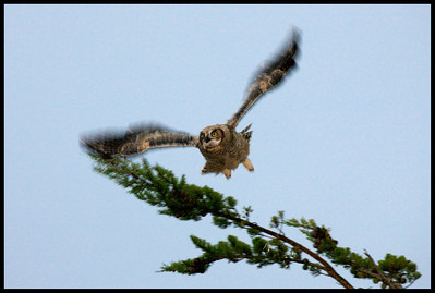 Young Great Horned Owl in flight at dawn
