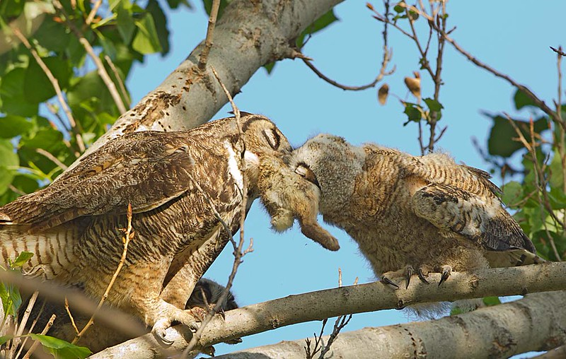 Great Horned Owl Feeding a Rabbit to Fledgling 2