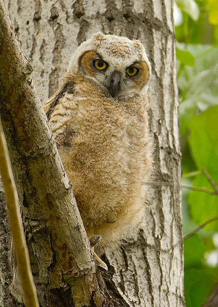 Great Horned Owlet 3