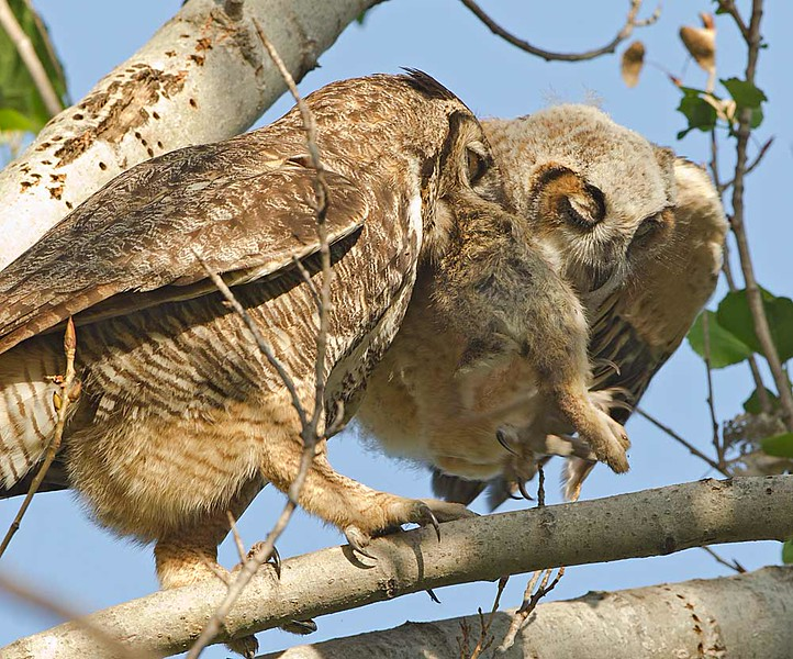 Great Horned Owl Feeding a Rabbit to Fledgling