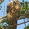Great Horned Owl Adult & Fledglings