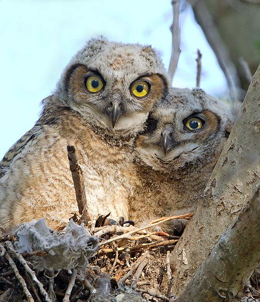 Great Horned Owlets in Nest