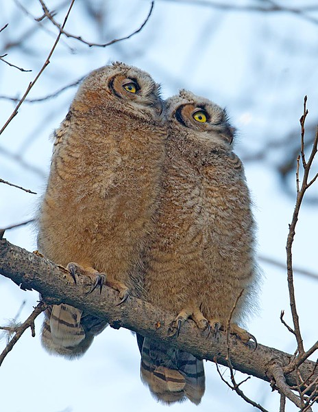 Great Horned Owl Fledglings