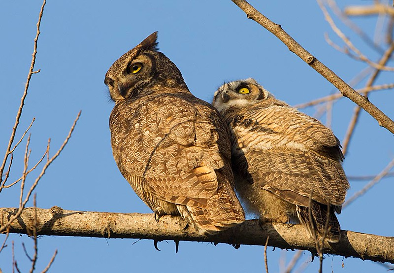 Great Horned Owl Adult & Fledgling