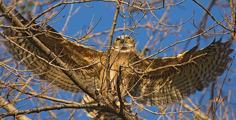 Great Horned Owl Fledgling in Flight