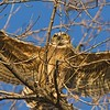 Great Horned Owl Fledgling in Flight