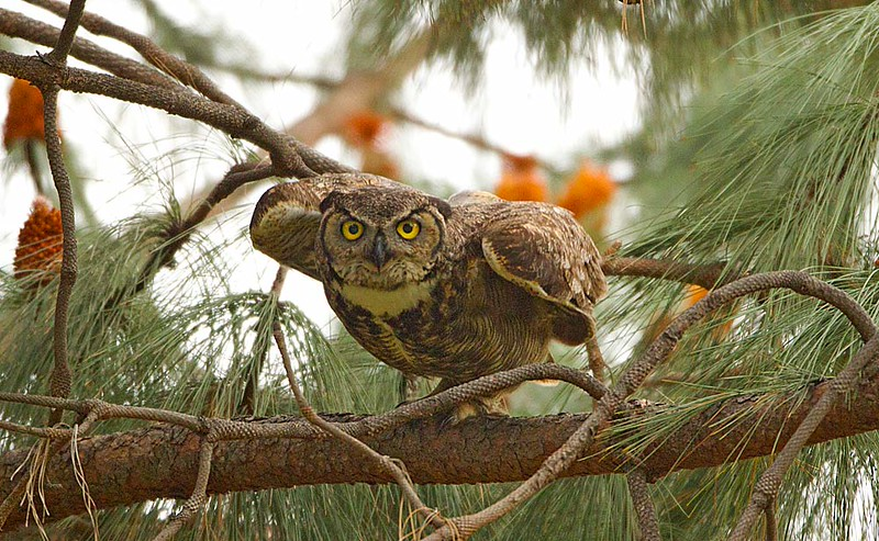 Great Horned Owl About to Fly