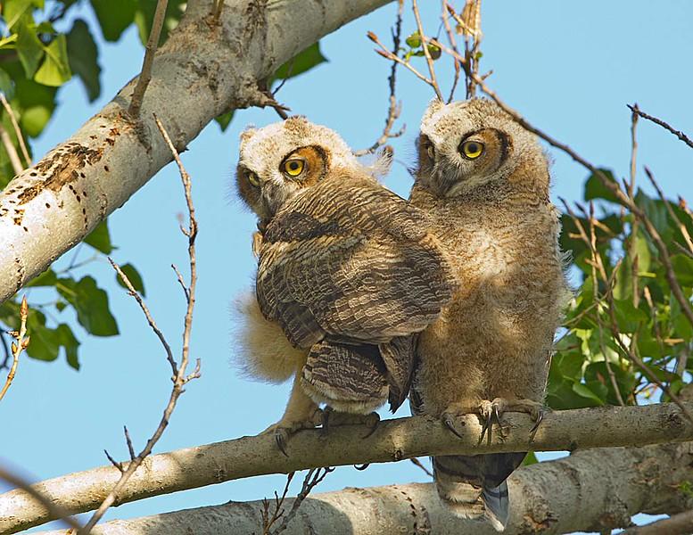 Great Horned Owl Adult Fledglings