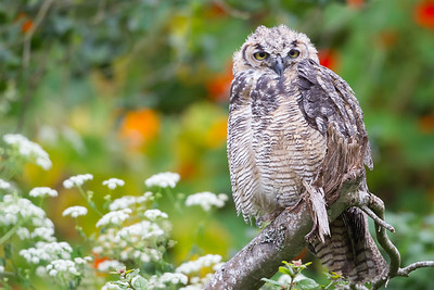 Great Horned Owl - Stow Lake, San Francisco, CA, USA