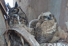 Great Horned Owl - Los Altos, CA, USA