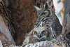 Great Horned Owl - Los Altos, CA, USA