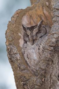 Indian Scops-Owl - Pench National Park, Madhya Pradesh, India