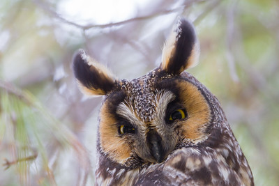 Long-eared Owl - Mercey Hot Springs, CA, USA