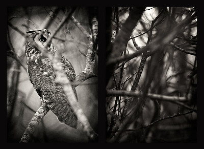 Long-eared owl and willow thickets