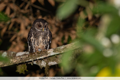 Mottled Owl - Cartago, Costa Rica