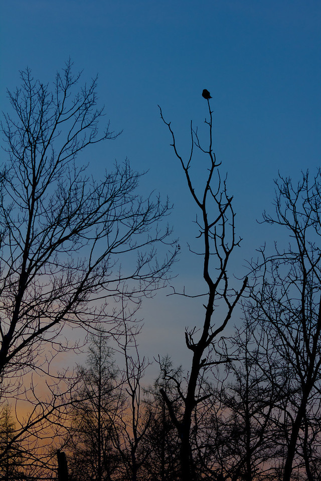 Northern Hawk Owl silhouetted against the sky.  Sitting at the very top of the tallest tree is a common sight.