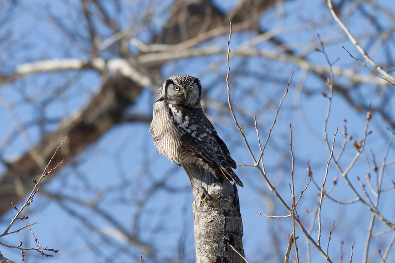 Northern Hawk Owl waiting for the right time to ambush a mouse