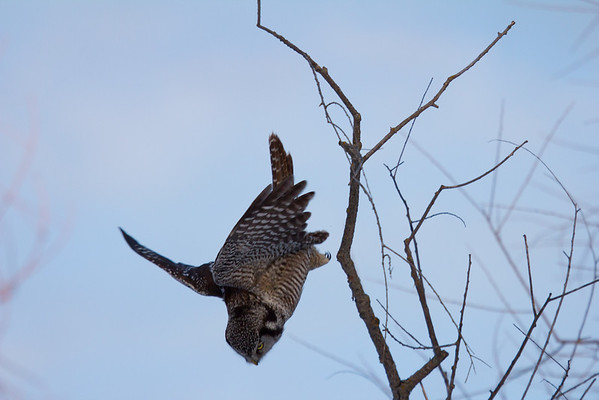 Northern Hawk Owl dives for a mouse