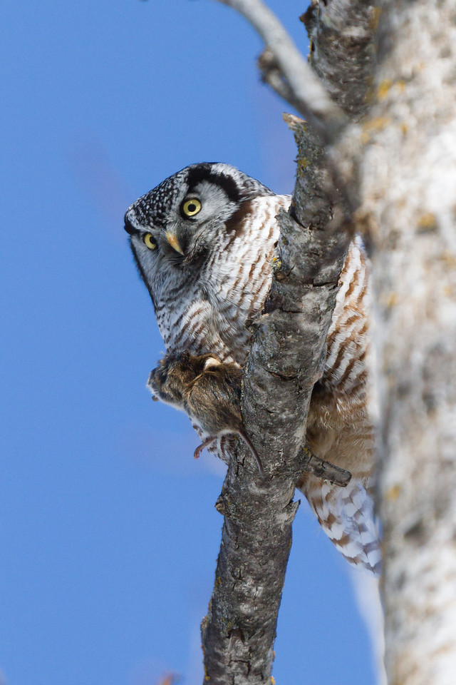 Northern Hawk Owl with catch