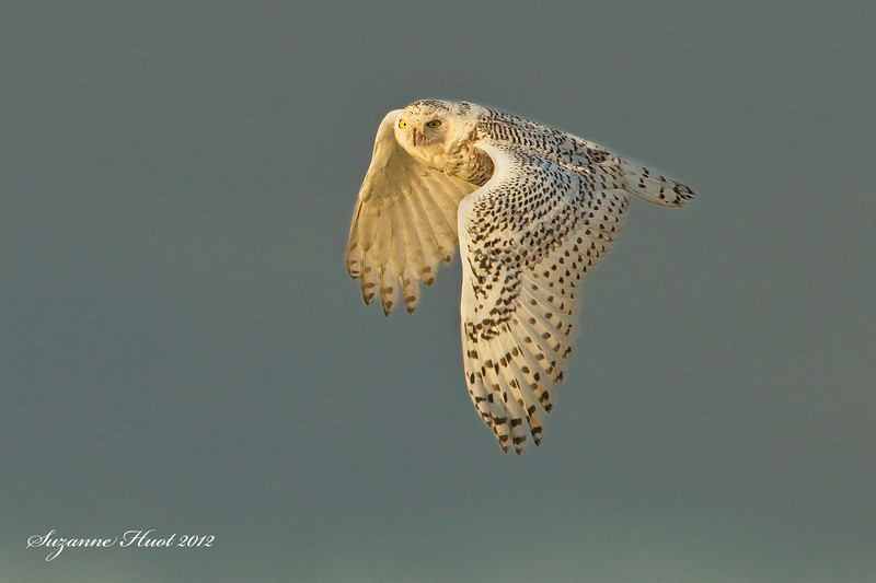 Snowy Owl .