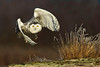 Snowy owl on a mission