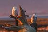 Snowy Owl pair at Dawn