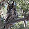 Long-eared Owl @ Killdeer Plains Wildlife Area - March 2010