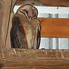Barn owl @ Knox County, OH  - Feb 2013