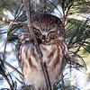 Saw-whet Owl @ Killdeer WA, January 2008