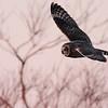 Short-eared Owl @ Killdeer WA, January 2008