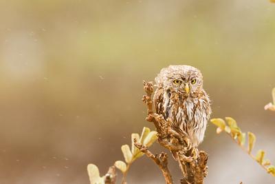 Pearl-spotted Owlet - Tarangire National Park, Tanzania