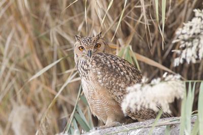 Pharaoh Eagle Owl - Aswan, Egypt