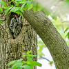 Screech Owl @ Magee Marsh SP, OH - May 2016